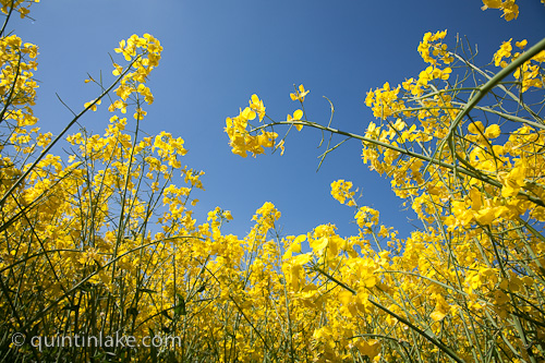 Images of yellow fields of rapeseed oil canola agriculture ground eye view looking up in field of yellow rapeseed in flower canola showing stems and flowerhead under a blue sky on a sunny day mightylinksfo