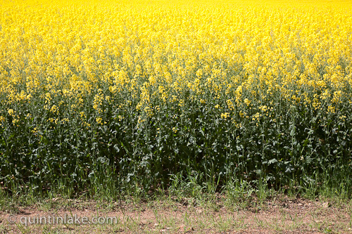 Images of yellow fields of rapeseed oil canola agriculture edge of a field of yellow rapeseed in flower canola showing stems and flowerhead on a sunny day seven springs gloucestershire england mightylinksfo