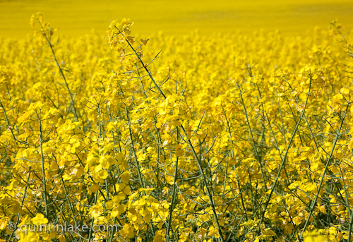 Images of yellow fields of rapeseed oil (canola ...
