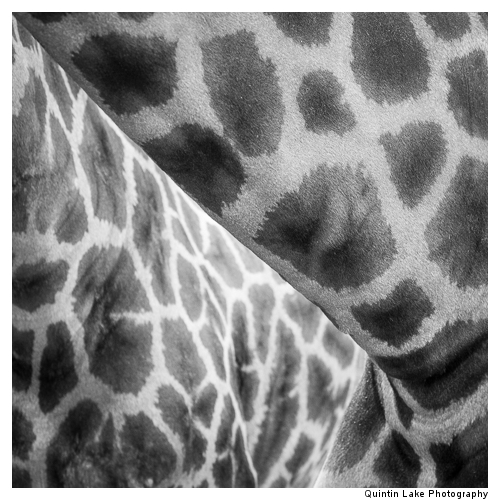 Giraffe, Giraffa camelopardalis) in the Cotswold Wildlife Park,