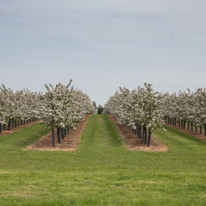 Orchard, Conyer.
