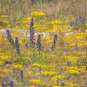Purple and yellow, Cleve Marshes.