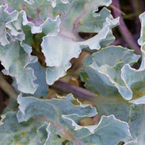 Sea Kale, South Oaze.