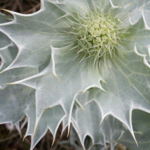 Sea-holly, Sandwich & Pegwell bay Nature Reserve.
