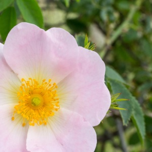 Wild Rose, Sandwich & Pegwell bay Nature Reserve.