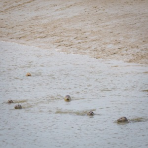 Common Seals at the mouth of the River Stour II.