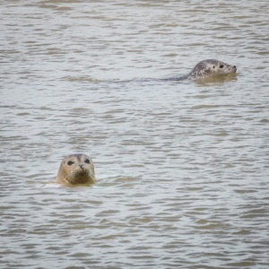 Common Seals at the mouth of the River Stour III.