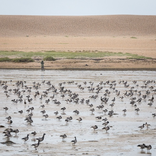 Birdwatcher & flock of Dark-bellied Brent Geese, Chisel Beach, Dorset.