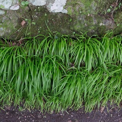 Wild Garlic, Babbacombe, Devon.