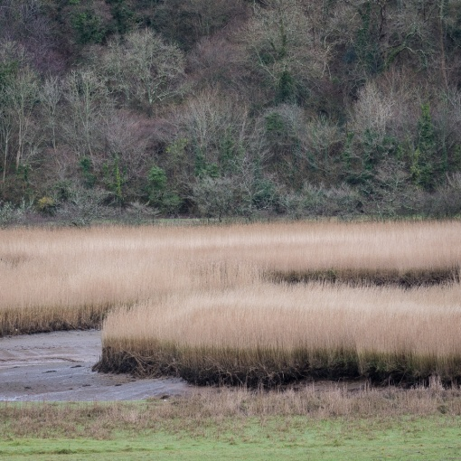 Reed Beds, River Dart, Devon.