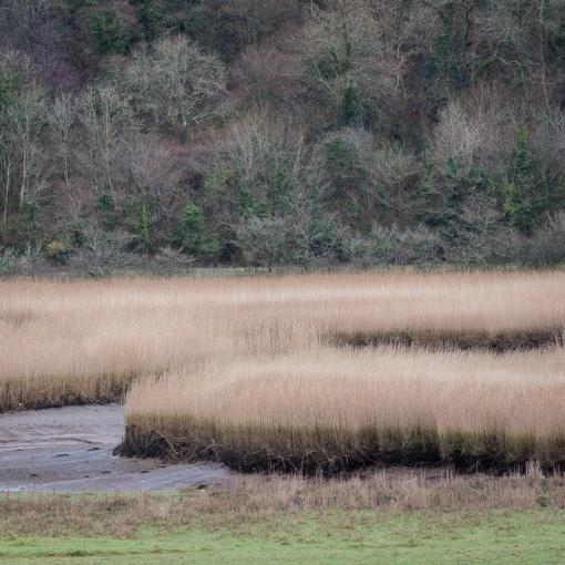 Reed Beds, River Dart, Devon.