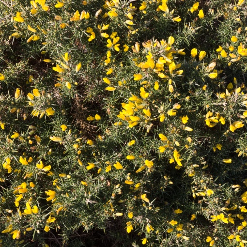 Gorse blossom, Bolt Head, Devon.