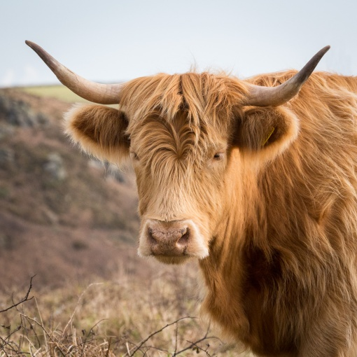 Highland Cow, Cathole Cliff, Devon.