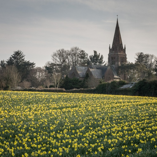 Daffodil field by Mayfield Church, Torpoint, Cornwall.