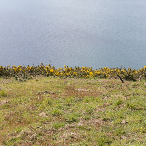 Gorse line, Black Head, Cornwall.