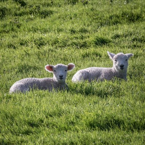 Lambs, Trewollock, Cornwall.