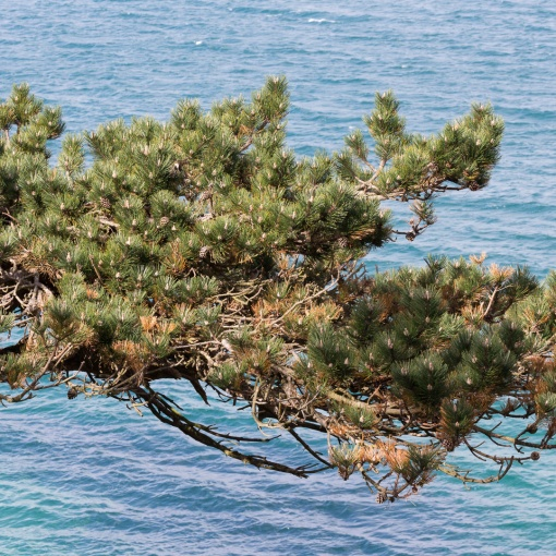 Monterey Pine, Carricknath point, Cornwall.