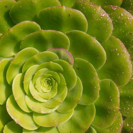 Succulent plant, St Michael's Mount, Cornwall.