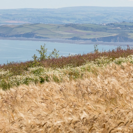 Barley field above Babbacombe cliff, Devon