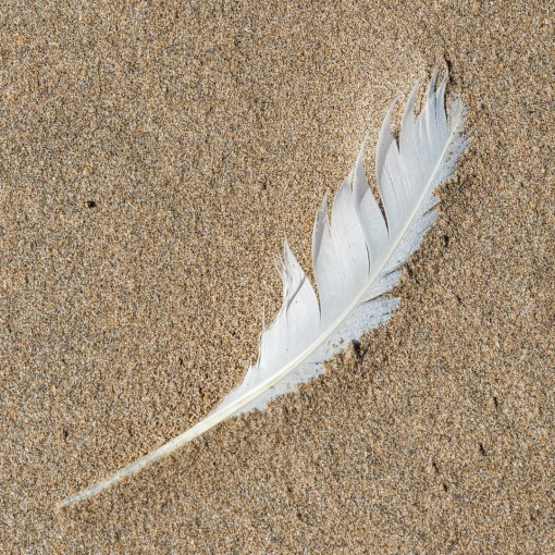 Feather, Saunton Sands, Devon.