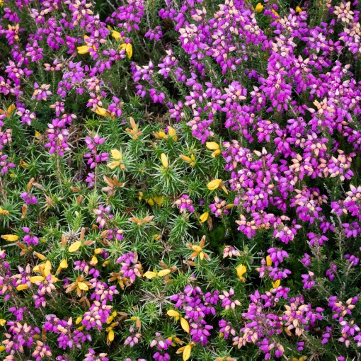 Gorse & Bell Heather, Exmoor, Devon.