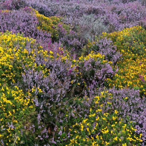 Ling Heather & Gorse, Exmoor, Devon.