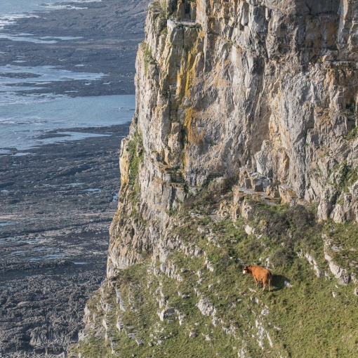 Climbing Cow, Pwlldu Head, Gower, Glamorgan.